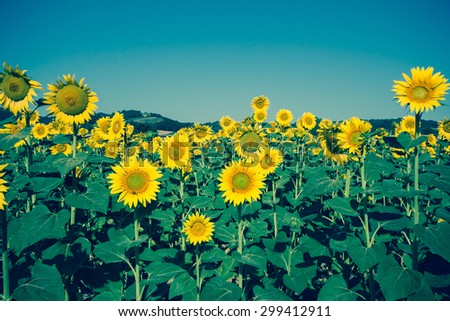 Vintage field of sunflowers - stock photo