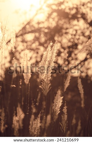 Vintage grass flower with sunset. - stock photo