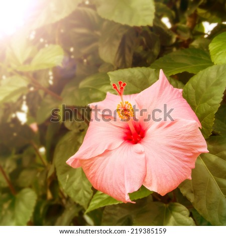 Vintage hibiscus flower with morning light  - stock photo