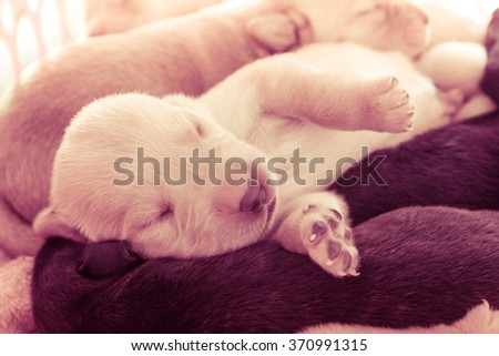 Vintage Image of Labrador Retriever Puppy with Sleeping