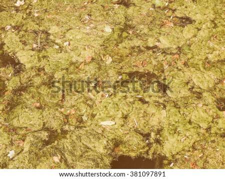 Vintage looking Green algae aka seeweed in a pond of water - stock photo