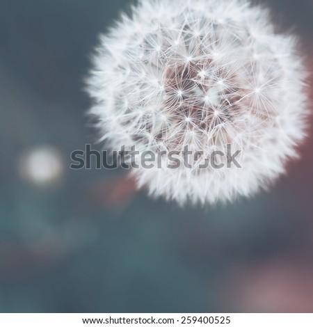 Vintage macro dandelion on a green background - stock photo