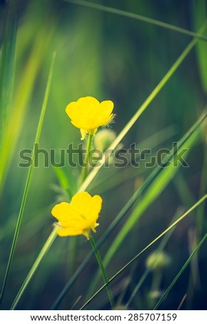 Vintage photo of beautiful buttercup flowers. Close up of yellow flowers growing on meadow - stock photo