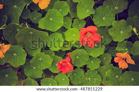 Vintage photo of beautiful nasturtium flowers growing and blooming in garden. Natural flowers background.
