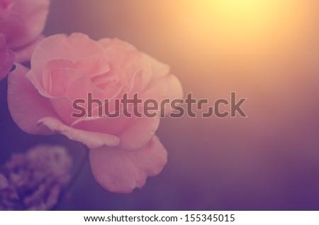 Vintage photo of beautiful rose - stock photo