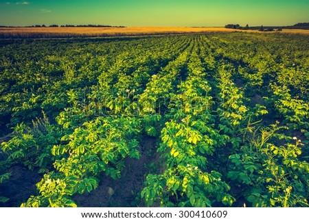 Vintage photo of beautiful summer landscape of potato field in sunset light. Polish countryside - stock photo