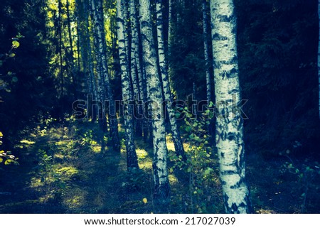 vintage photo of birch forest - stock photo
