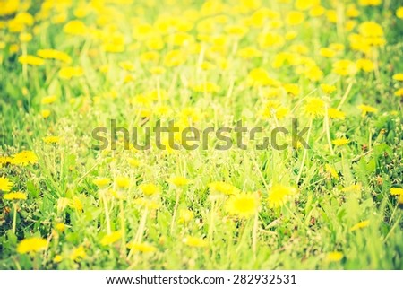 Vintage photo of blooming dandelions flowers in green grass. Yellow springtime flowers. - stock photo