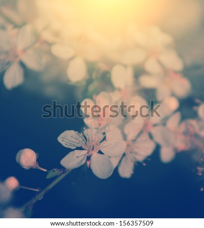 Vintage photo of cherry blossom - stock photo