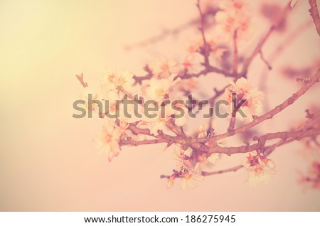 Vintage photo of cherry flower in spring