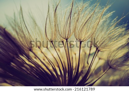 Vintage Photo Of Dandelion Seeds Nature Abstract