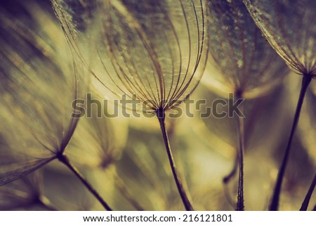 vintage photo of dandelion seeds. nature abstract