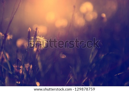 Vintage photo of dandelion wild flower in sunset - stock photo