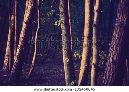 vintage photo of forest. tree trunks - stock photo
