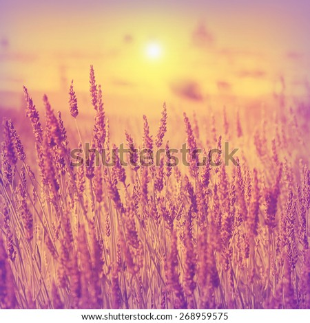Vintage photo of lavender field at sunset. - stock photo