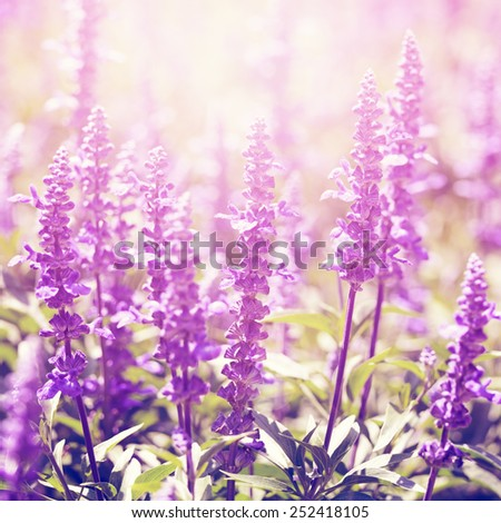 Vintage photo of lavender flowers in sunny day - stock photo