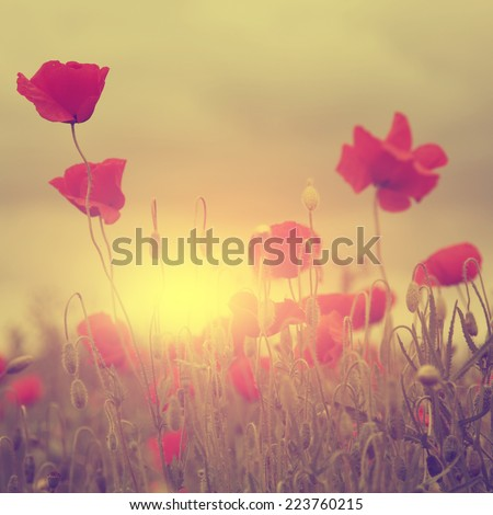Vintage photo of poppy field at sunset. - stock photo