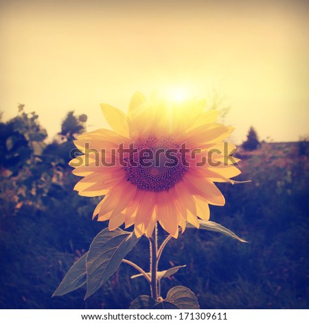 Vintage photo of sunflower in the field at sunset. - stock photo