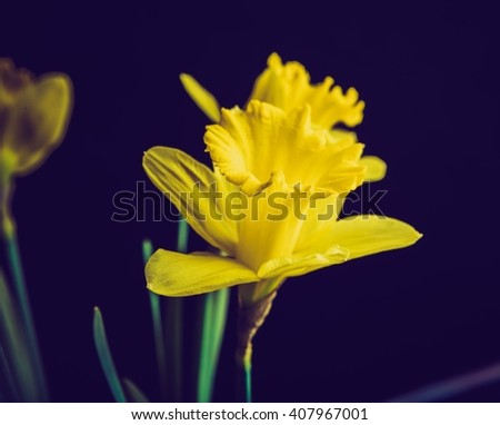 Vintage photo of yellow daffodils on black background. Natural springtime flowers - stock photo