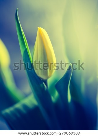 Vintage photo of yellow tulip flower. Beautiful springtime flower bouquet - stock photo