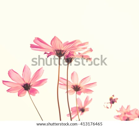 Vintage Pink cosmos flowers on white background