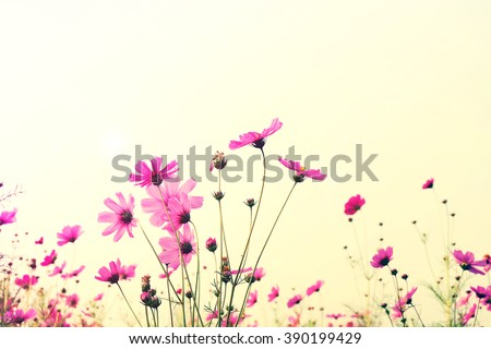 Vintage Pink Cosmos flowers with sky - stock photo