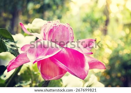 Vintage Pink Lotus Beautiful Flower Soft Focus Blur Dark Tone Texture Background - stock photo
