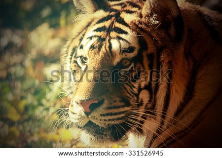 vintage portrait of a tiger at the zoo - stock photo