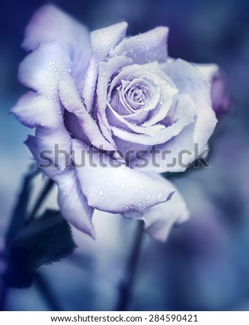 Vintage rose at night, beautiful gentle flower with raindrops under the moonlight, dreamy fantasy garden - stock photo