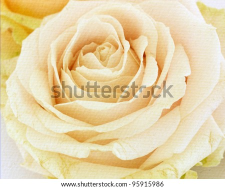 vintage rose  flower background - stock photo
