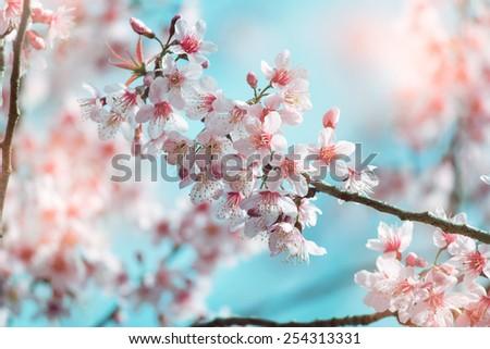 Vintage Spring Sakura Cherry Blossom - stock photo