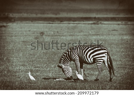 Vintage style balck and white image of a moving Zebra in the Serengeti National Park, Tanzania - stock photo