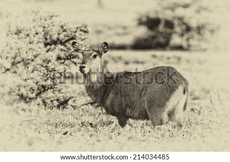 Vintage style black and white image of a female waterbuck, Lake Naivasha. Africa. Kenya