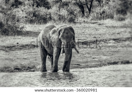 Vintage style black and white image of a gigantic male african elephant in the Kruger National Park, South Africa - stock photo