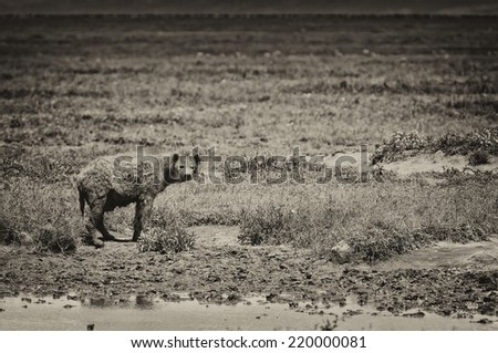 Vintage style black and white image of a Hyena on the plains of the Serengeti National Park, Tanzania, Africa - stock photo