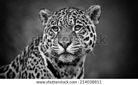 Vintage style black and white image of a Jaguar - Panthera onca - stock photo