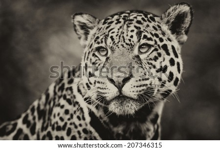 Vintage style black and white image of a Jaguar - Panthera onca. The jaguar is the third-largest feline after the tiger and the lion, and the largest in the Western Hemisphere.  - stock photo