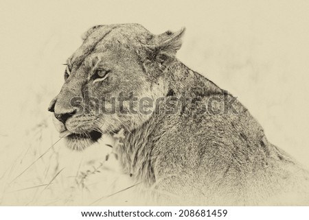 Vintage style black and white image of a wild african lioness in the Serengeti National Park, Tanzania - stock photo