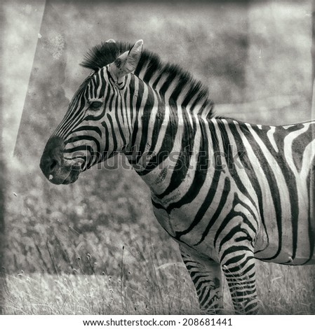 Vintage style black and white image of a Zebra in the Serengeti National Park, Tanzania