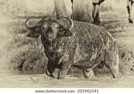 Vintage style black and white image of an African buffalo crossing a river in the Lake Nakuru National Park - Kenya - stock photo