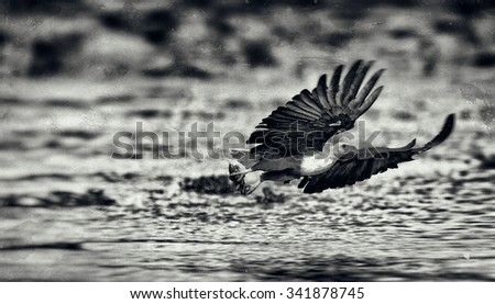 Vintage style black and white image of an African fish eagle, Naivasha Lake National Park, Kenya - stock photo