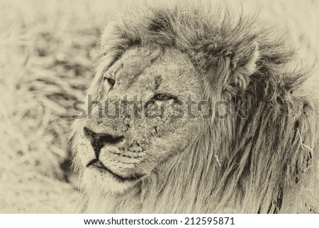 Vintage style black and white image of an African lion in Hlane National Park, Swaziland - stock photo