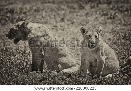 Vintage style black and white image of two lionesses on the plains of the Serengeti National Park, Tanzania, Africa - stock photo