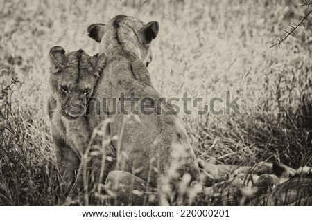 Vintage style black and white image of two wild african lionesses in the Serengeti National Park, Tanzania - stock photo