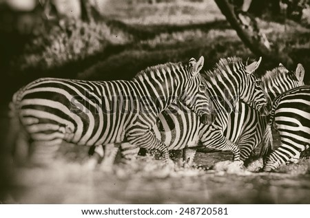 Vintage style black and white image of Zebras in the Lake Nakuru National Park in Kenya, Africa - stock photo