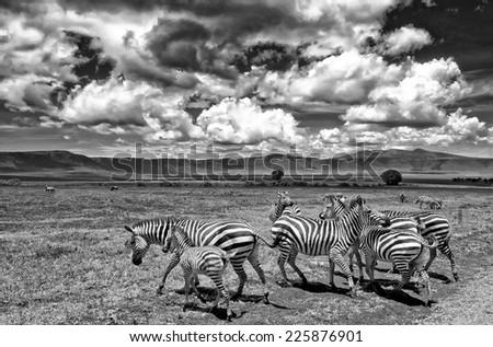 Vintage style black and white image of Zebras in the Ngorongoro Crater, Tanzania - stock photo