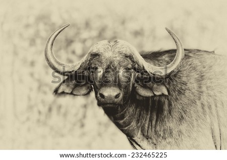 Vintage style black and white portrait of an African Buffalo in Kruger National Park, South Africa, stylized and filtered to look like an oil painting - stock photo