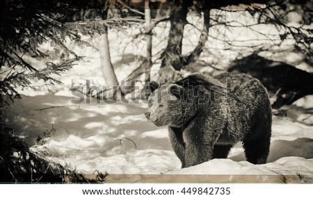 Vintage style image of a Brown Bear (Ursus arctos) in Alaska