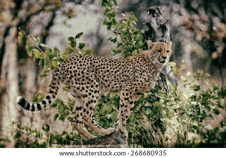 Vintage style image of a Cheetah in Kruger National Park, South Africa - stock photo