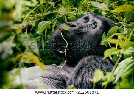 Vintage style image of a great silverback Mountain Gorilla, in the Bwindi National Park in Uganda. - stock photo